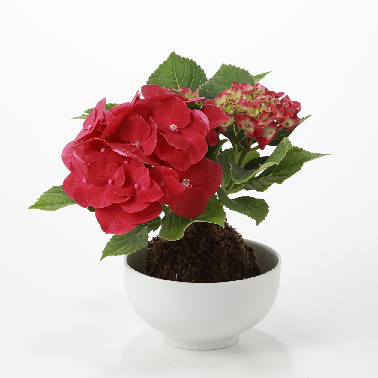 【ネット限定】母の日 あじさいの苔玉 赤